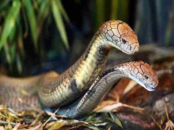 Mơ thấy 2 con rắn có ý nghĩa gì?