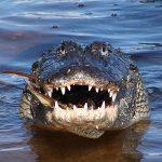 Nằm mơ thấy cá sấu đánh xổ số con gì có ý nghĩa gì thú vị